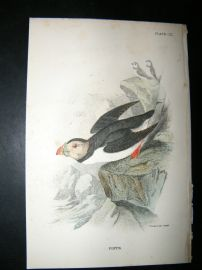 Allen 1890's Antique Bird Print. Puffin